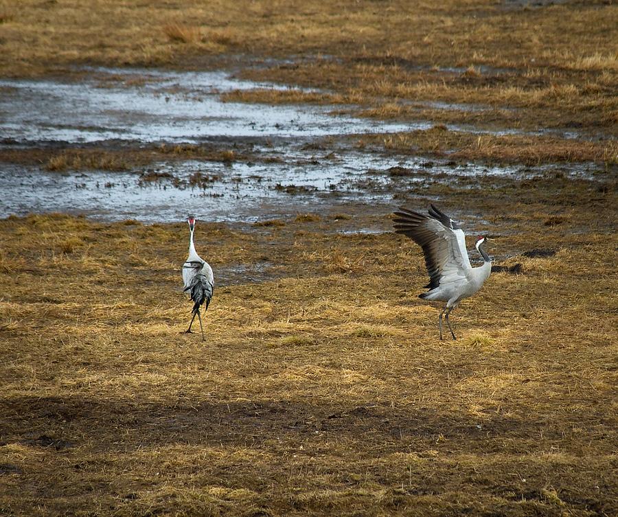 Två tranor vid Hornaborgasjön