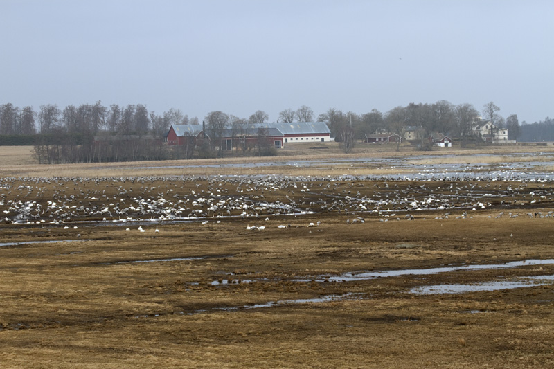 Trandansen Hornborgasjön